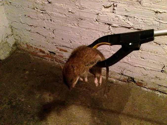 дератизация от крыс