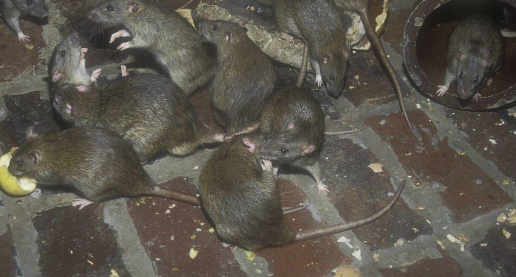 уничтожение крыс в Миассе